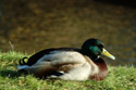 Image Ref: 01-08-36 - Duck, Viewed 13933 times