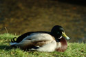 Image Ref: 01-08-37 - Duck, Viewed 12943 times