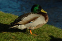 Image Ref: 01-08-38 - Duck, Viewed 17210 times