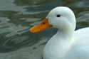 Image Ref: 01-08-44 - Duck, Viewed 15813 times
