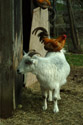 Image Ref: 01-10-61 - Goat with Chicken on its back, Viewed 20658 times