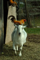 Goat with Chicken on its back has been viewed 25340 times
