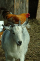 Goat with Chicken on its back has been viewed 23850 times