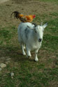 Goat with Chicken on its back has been viewed 19508 times