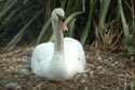 Image Ref: 01-19-19 - Swan, Viewed 6653 times