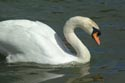Image Ref: 01-19-1 - Swan, Viewed 10773 times