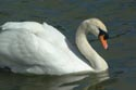 Image Ref: 01-19-2 - Swan, Viewed 12922 times