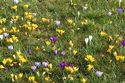 Image Ref: 12-32-4 - Crocuses, Viewed 6645 times