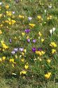 Image Ref: 12-32-51 - Crocuses, Viewed 5935 times