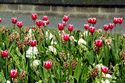 Image Ref: 12-35-7 - Tulips, Viewed 10583 times