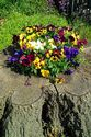 Image Ref: 12-37-52 - Pansies, Viewed 15049 times