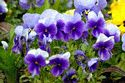 Image Ref: 12-37-5 - Pansies, Viewed 17705 times