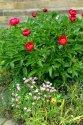 Image Ref: 12-40-51 - Peony Rose, Viewed 9160 times