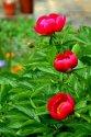 Image Ref: 12-40-52 - Peony Rose, Viewed 14588 times