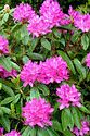 Image Ref: 12-46-51 - Rhododendron, Viewed 10443 times