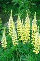 Image Ref: 12-47-51 - Lupin, Viewed 9963 times