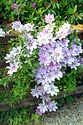 Image Ref: 12-51-54 - Clematis, Viewed 12192 times