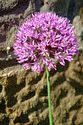 Allium has been viewed 9124 times