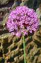 Image Ref: 12-55-52 - Allium, Viewed 8948 times