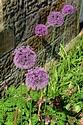 Allium has been viewed 8841 times