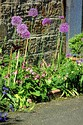 Image Ref: 12-55-55 - Allium, Viewed 8586 times