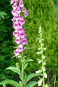 Image Ref: 12-57-51 - Foxglove - Digitalis, Viewed 7622 times