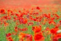 Field of Poppies has been viewed 11381 times