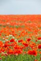 Image Ref: 12-71-54 - Field of Poppies, Viewed 4983 times