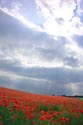 Image Ref: 12-71-58 - Field of Poppies, Viewed 6544 times
