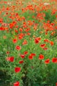 Image Ref: 12-71-64 - Field of Poppies, Viewed 5126 times