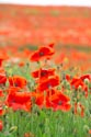 Image Ref: 12-71-66 - Field of Poppies, Viewed 5342 times