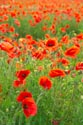 Image Ref: 12-71-75 - Field of Poppies, Viewed 4830 times