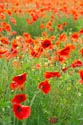 Image Ref: 12-71-76 - Field of Poppies, Viewed 4755 times