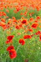 Image Ref: 12-71-77 - Field of Poppies, Viewed 4598 times
