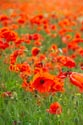 Image Ref: 12-71-82 - Field of Poppies, Viewed 5001 times