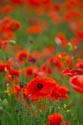 Image Ref: 12-71-84 - Field of Poppies, Viewed 5760 times