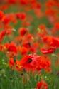 Image Ref: 12-71-87 - Field of Poppies, Viewed 5309 times