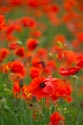 Image Ref: 12-71-88 - Field of Poppies, Viewed 5090 times