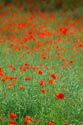 Image Ref: 12-71-89 - Field of Poppies, Viewed 4769 times