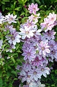 Image Ref: 15-05-51 - Clematis Montana, Viewed 35935 times