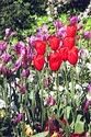 Image Ref: 15-05-60 - Tulips, Viewed 19385 times