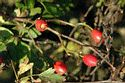 Image Ref: 15-55-4 - Berries, Viewed 5708 times