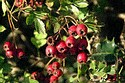 Image Ref: 15-55-5 - Berries, Viewed 7491 times