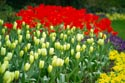 Image Ref: 19-11-29 - Tulips, Viewed 5430 times