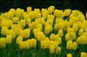Image Ref: 19-11-30 - Tulips, Viewed 5551 times