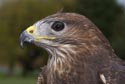 Common Buzzard has been viewed 8217 times