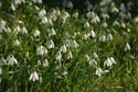 Image Ref: 9908-02-21 - Snowdrops, Viewed 5155 times