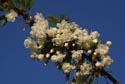 Image Ref: 9908-05-15 - White Blossom, Viewed 4006 times