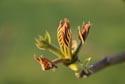 Image Ref: 9908-05-16 - Tree bud opening, Viewed 4372 times