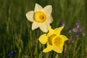 Image Ref: 9908-05-17 - Daffodils, Viewed 4166 times